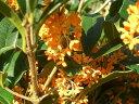 甘い香りの秋の代表樹キンモクセイH:1.0m苗