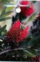 金宝樹(キンポウジュ) ブラシノキ ベニクジャク5号ポット苗 シンボルツリー 庭木 常緑樹