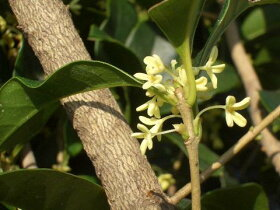 四季咲きモクセイ