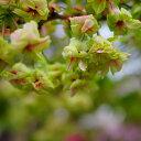 桜 苗木 さくら 御衣黄 (ぎょいこう) 1年生 接ぎ木 苗