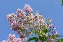 洋風ガーデンによく合います サルスベリピンク  根巻き苗【バンバンポイント10倍】1108秋山