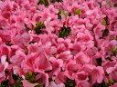サツキツツジ 大盃 ( ピンク ) 4号ポット苗 さつき 庭木 常緑樹 グランドカバー 低木