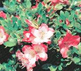 サツキツツジ 【 真如の月 】 さつき 苗 4号 ポット サツキ 庭木 常緑樹 グランドカバー 低木