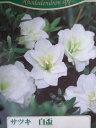 サツキツツジ 【 白盃 】 さつき 苗 4号 ポット サツキ 庭木 常緑樹 グランドカバー 低木 庭木 常緑樹