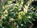 """シマトネリコ 斑入り """"ホワイトドロップ"""" ポット苗 シンボルツリー 庭木 常緑樹"""