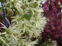 白花トキワマンサクH0.2m ポット苗 生垣 目隠し グランドカバー 低木 庭木 常緑樹