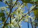 白花トキワマンサク生垣用苗生垣目隠し低木庭木常緑樹