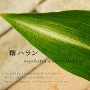 曙ハラン (アケボノハラン) ポット苗 常緑低木 耐寒性 日陰
