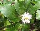 フッキソウ ( 福貴草 ) 5号ポット苗 宿根草 苗 多年草 耐寒性 常緑 グランドカバー 日陰