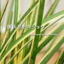 斑入りセキショウ ( 斑入り石菖 ) ポット苗 宿根草 苗 多年草 耐寒性 グランドカバー 寄せ植え 日陰