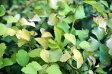 小手毬(コデマリ) ゴールドファウンテンポット苗 庭木 落葉樹 低木