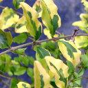 斑入りプリペット レモンライムアンドクリッパーズ H0.3m苗木庭木 常緑樹 生垣 目隠し 庭木 常