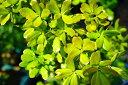 どんぐりの木ウバメガシ1年生ポット苗生垣目隠し庭木常緑樹