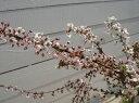 花 ユキヤナギ 通販