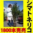人気No.1常緑樹、昨年度販売本数・・約1,800本 大サイズ耐寒性のあるシマトネリコ 株立ちH1.6m苗。