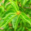 常緑エゴノキ ポット苗 庭木 常緑樹 シンボルツリー