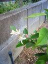 今日、お花が咲きました。たぶん7〜8輪は咲いていたと思います。ミカンママさんのレモン部日記