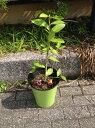 枝を20cm切り落とし、「みかんの好きな肥料」を投入いたしました。平和会議1号さんのレモン部日記
