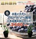 ■送料無料 店長厳選■ブルーベリー 苗木 ラビットアイ系 人気品種2本お試しセット 初心者おすすめ 果樹 blueberry