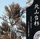 北山台杉 (キタヤマダイスギ) 根巻き苗 シンボルツリー【西濃運輸お届け】【北海道、沖縄、離島不可】【植木 高木】 庭木 常緑樹
