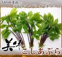 【 幻の 山菜苗 】 コシアブラ 株立ち 根巻き苗 果樹苗木 果樹