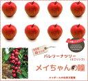 りんご 苗木 バレリーナツリー メイちゃんの瞳 1年生 接ぎ木 苗 果樹 果樹苗木