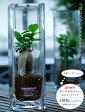 【送料無料】■観葉植物■ボトルカルチャー ロングタイプ ( インテリアグリーン ) 選べる植物4タイプ【代引き不可】