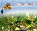 キウイ 苗木 レインボーレッド (メス) 1年生 接ぎ木 苗 果樹 果樹苗木