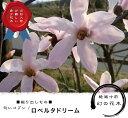 ■掘り出しもの■ 匂いコブシロベルタドリーム ポット大苗一重咲き シンボルツリー