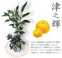 柑橘類 苗木 オレンジ みかん 苗 津之輝(つのかがやき) 2年生 接ぎ木 果樹苗木 果樹苗 ミカン 蜜柑 カンキツ