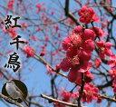 【花梅苗木】 ハナウメ 紅千鳥梅 2年生苗 庭木 落葉樹 シンボルツリー 【観賞花木】