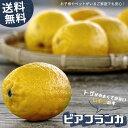 送料無料 レモンの木 ビアフランカ 1年生 接木 特価苗 果樹苗 柑橘