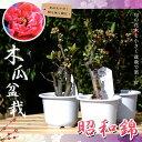 ボケ 木瓜 昭和錦 (ショウワニシキ) 盆栽仕立て