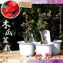 ボケ 木瓜 世界一 (セカイイチ) 盆栽仕立て