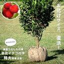 ■掘り出しもの■赤花ヒメイチゴノキ(ストロベリーツリー)根巻き特大苗 庭木 常緑樹