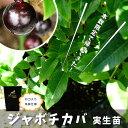 熱帯果樹 ■本数限定■ 四季成り ジャボチカバ 2年生 実生苗 果樹苗木 果樹苗