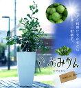 柑橘類 苗木こぶみかん (バイマックルー)7号 鉢植え苗 コブミカン 観葉植物