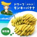 ■本数限定 大サイズ■矮性バナナ ドワーフモンキーバナナ 7号ポット大苗 果樹苗木 熱帯果樹