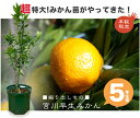 柑橘類 苗木 ■掘り出しもの■みかん 苗 苗木 宮