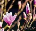モクレン レッドラッキー (ピンク花) 根巻き苗