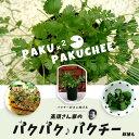 パクチー 苗高須さん家の[パクパク パクチー]鉢植え すぐに食べられる 【一年草】