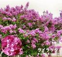 ライラック 苗 赤紫花 品種 ライラック チャールズジョリー ポット苗 庭木 落葉樹 シンボルツリー