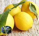 レモン 苗木 【 トゲなしレモン 】 2年生 接ぎ木 苗 柑橘 果樹 果樹苗木