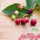ジューンベリー 矮性ジューンベリー リージェント ポット苗 矮性 落葉樹 シンボルツリー 果樹苗木 果樹苗