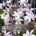 ■珍しい花木■ 匂いコブシロベルタドリーム ポット苗一重咲き シンボルツリー