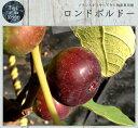 【世界のイチジク】ロンドボルドー 1年生苗イチジク 苗木 果樹 果樹苗木