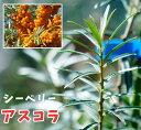 【アスコラ】シーベリー サジー 健康果樹 落葉樹 生垣 果樹苗木 果樹苗