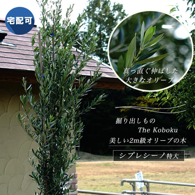 ■掘り出しもの The Koboku■オリーブの木シプレシーノ 2m 特大 株立ち 【西濃運輸お届け】 【北海道、沖縄、離島不可】