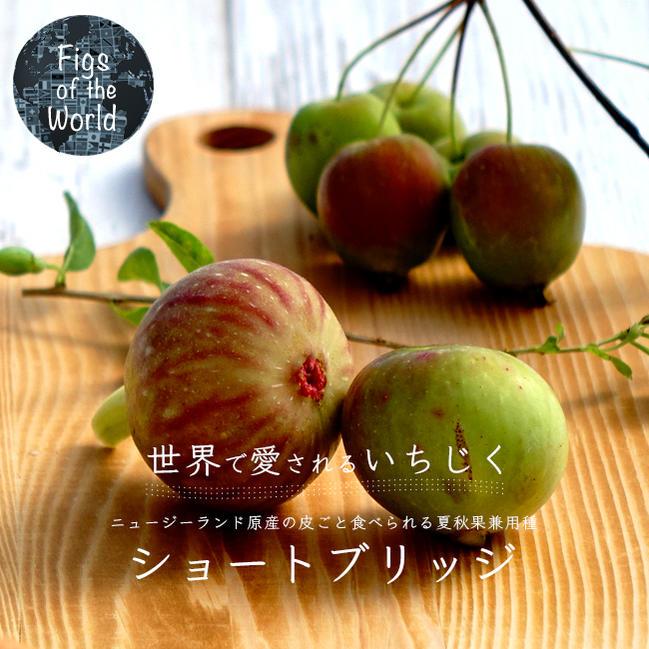 【世界のイチジク】 ショートブリッジ1年生苗 イチジク 苗木 果樹 果樹苗木