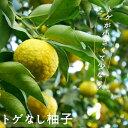 ゆず 苗 トゲなし柚子 1年生 接ぎ木 苗 果樹苗 ユズ とげなし 柑橘